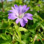 Geranium nodosum 'Marijke' - Ooievaarsbek - Geranium nodosum 'Marijke'