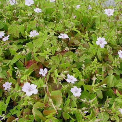 Geranium nodosum 'Svelte Lilac' - Ooievaarsbek - Geranium nodosum 'Svelte Lilac'