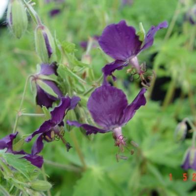Geranium phaeum 'Klepper' -