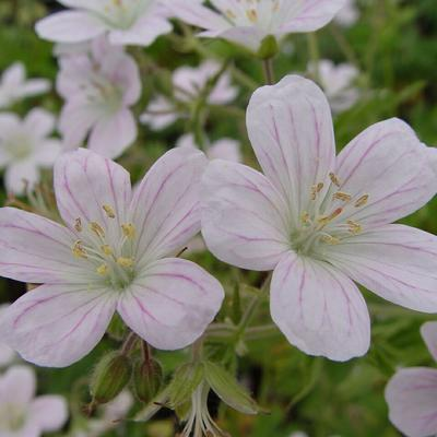 Geranium sylvaticum 'Angulatum' -