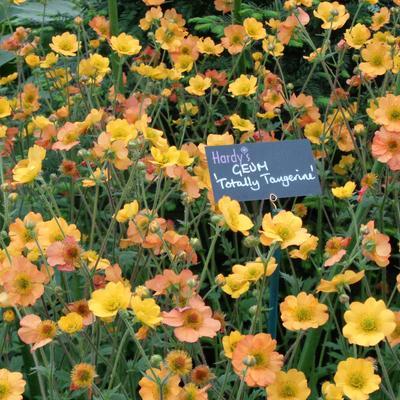 Geum 'Totally Tangerine' - Nagelkruid - Geum 'Totally Tangerine'