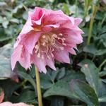 Nieskruid - Helleborus orientalis 'DOUBLE ELLEN Pink'