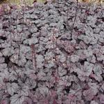 Heuchera 'Sugar Plum'  - Purperklokje