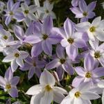 Ipheion uniflorum 'Wisley Blue' - Oude wijfjes/Voorjaarster - Ipheion uniflorum 'Wisley Blue'