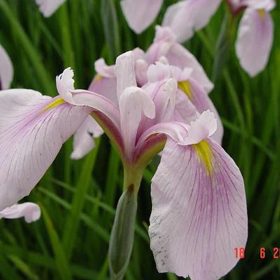 Iris ensata 'Darling' -