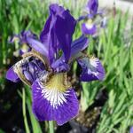 Iris sibirica 'Blue Moon' - Siberische lis - Iris sibirica 'Blue Moon'