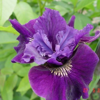 Iris sibirica 'Ruffled Velvet' -