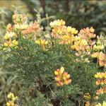 Boomlupine - Lupinus arboreus