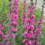Lythrum salicaria 'Pink Blush' - Lythrum salicaria 'Pink Blush' - Kattenstaart