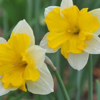 Narcissus 'Centannees'