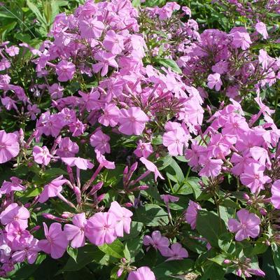 Phlox amplifolia - Vlambloem/Flox - Phlox amplifolia
