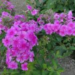 Vlambloem, floks - Phlox amplifolia 'Pink Painting'