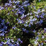 Pratia - Pratia pedunculata 'County Park'