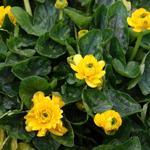 Ranunculus ficaria 'Flore-pleno' - Speenkruid - Ranunculus ficaria 'Flore-pleno'