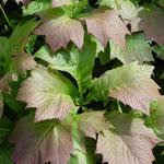 Rodgersia podophylla - Kijkblad, Schout bij Nacht - Rodgersia podophylla