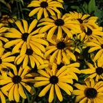 Rudbeckia missouriensis - Zonnehoed