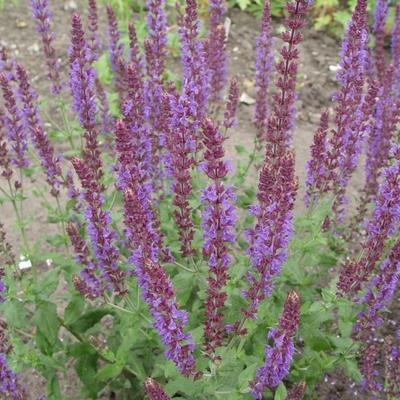Salvia nemorosa 'Senior' -