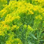 Solidago ohioensis  'Four Seasons' - Guldenroede