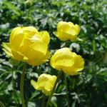 Trollius 'Lemon Queen' - Kogelbloem