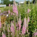 Veronica longifolia 'Charming Pink' - Ereprijs - Veronica longifolia 'Charming Pink'