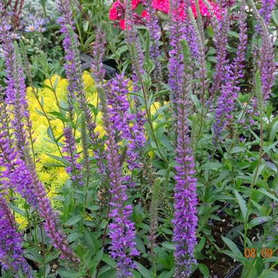 Veronica longifolia 'Sonja' -