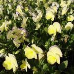 Viooltjes - Viola cornuta 'Etain'
