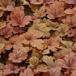 X Heucherella 'Buttered Rum' - Purperklokje