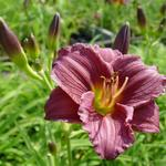 Hemerocallis 'Little Grapette' - Daglelie