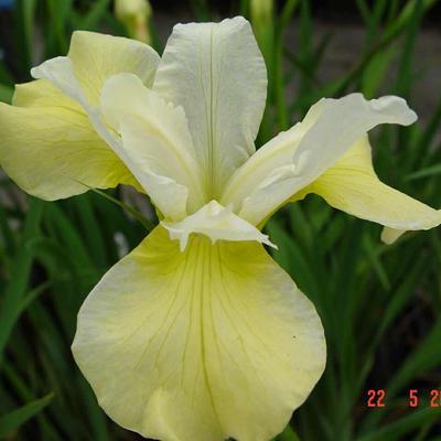 Iris sibirica 'Butter and Sugar' - Siberische lis - Iris sibirica 'Butter and Sugar'
