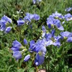 Polemonium caeruleum 'Northern Lights' - Jacobsladder