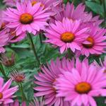 Echinacea purpurea 'JS Robin Hood' - Echinacea purpurea 'JS Robin Hood' - Rode zonnehoed
