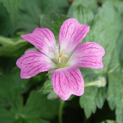 Geranium x oxonianum  'JS Anne-Marie' -