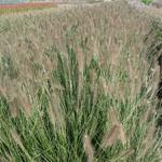Lampepoetsergras - Pennisetum alopecuroides 'Penalope'