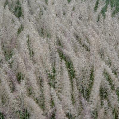 Pennisetum orientale 'Small Tails' -