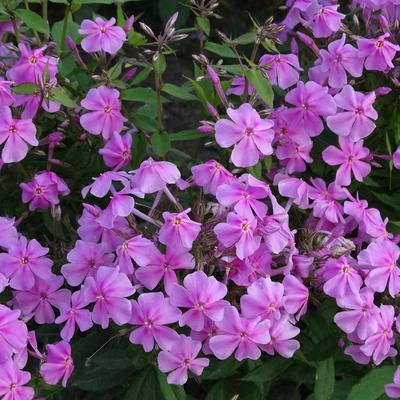 Phlox amplifolia 'Christine' - Vlambloem/Flox - Phlox amplifolia 'Christine'