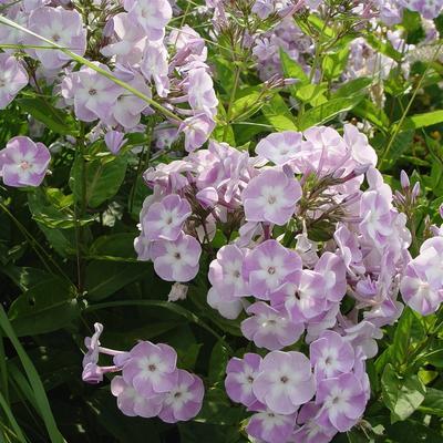 Phlox paniculata 'Katherine' - Vlambloem / Flox - Phlox paniculata 'Katherine'