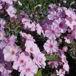 Vlambloem, floks - Phlox paniculata JS 'Rosanne'