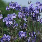 Polemonium yezoense var. hidakanum 'Bressingham Purple' - Jacobsladder - Polemonium yezoense var. hidakanum 'Bressingham Purple'