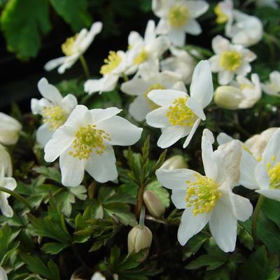 Anemone nemorosa 'Alba'  -