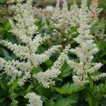 Astilbe chinensis 'Vision in White' - Pluimspirea