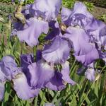 Iris germanica 'Blue Rhythm' - Baardiris