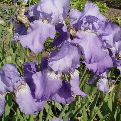 Iris germanica 'Blue Rhythm' -