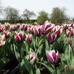 Tulipa 'Chansonnette' - Tulp - Tulipa 'Chansonnette'