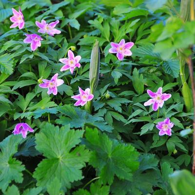 Anemone nemorosa 'La Rochanne' -
