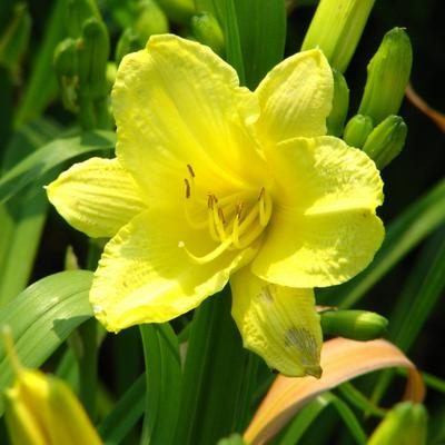 Hemerocallis 'Happy Returns' - Daglelie, Eéndagsbloem