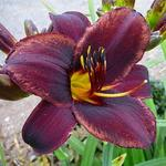 Hemerocallis 'Sweet Hot Chocolate'  - Daglelie, Eéndagsbloem - Hemerocallis 'Sweet Hot Chocolate'