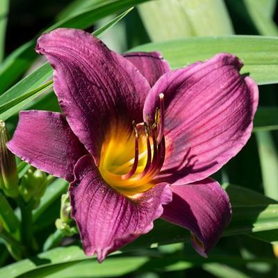 Hemerocallis 'Purple Rain' -