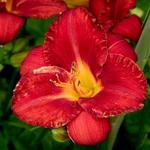 Hemerocallis 'Charles Johnston' - Daglelie