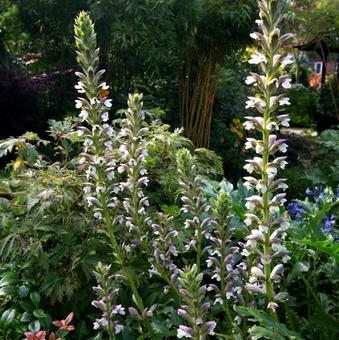 Acanthus hungaricus 'White Lips'