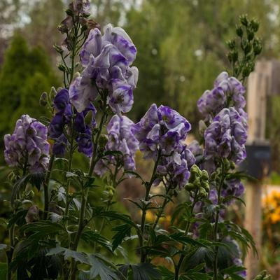 Aconitum carmichaelii 'Cloudy' -